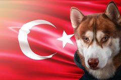 Patriotic dog proudly in front of Turkey flag. Portrait siberian husky in sweatshirt in the rays of bright sun. National celebration concept stock photos