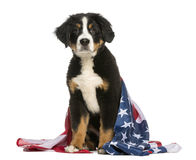 Patriotic dog sitting with american flag Royalty Free Stock Images