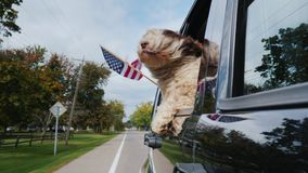 A patriotic dog is traveling in a car, an American flag is flying alongside. Slow motoin video stock video
