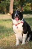 Patriotic Dog with USA Flag Bandanna Stock Image