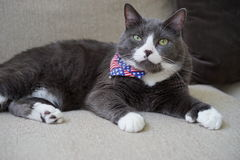 Patriotic polydactyl cat has extra toes stock photography