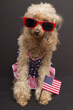 Patriotic Poodle. A patriotic poodle wearing red sunglasses, a swimsuit with the USA flag and holding a USA flag, isolated on a gray background royalty free stock photos