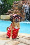 Patriotic Puggle at the Pool royalty free stock photos