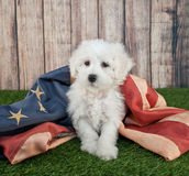 Patriotic Puppy. Cute little Maltipoo puppy sitting in the grass with an american flag Royalty Free Stock Photos