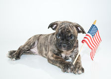 Patriotic Puppy Royalty Free Stock Images