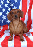 Patriotic Wiener Dog. Patriotic Red dachshund on flag royalty free stock image