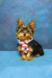 Patriotic Yorkie Royalty Free Stock Photography