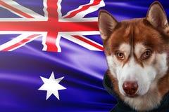 Patriotischer Hund stolz vor Australien-Staatsflagge Porträtsibirischer husky im Sweatshirt in den Strahlen des hellen Sonnensche lizenzfreie abbildung