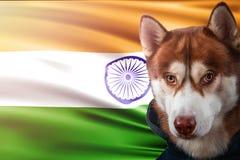 Patriotischer Hund stolz vor Indien-Flagge Porträtsibirischer husky im Sweatshirt in den Strahlen des hellen Sonnenscheins stock abbildung