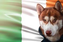 Patriotischer Hund stolz vor Irland-Flagge Porträtsibirischer husky im Sweatshirt in den Strahlen des hellen Sonnenscheins stock abbildung