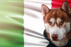 Patriotischer Hund stolz vor Italien-Flagge Porträtsibirischer husky im Sweatshirt in den Strahlen des hellen Sonnenscheins lizenzfreie abbildung