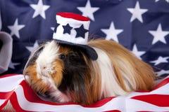 Patriotisches abyssinisches Meerschweinchen Cavia porcellus Stockfotos