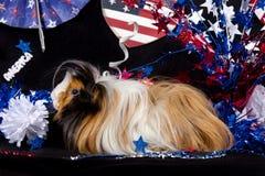 Patriotisches abyssinisches Meerschweinchen - Mann Lizenzfreies Stockfoto