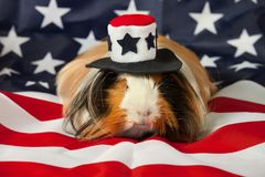 Patriotisches abyssinisches Meerschweinchen - Mann Lizenzfreie Stockfotografie