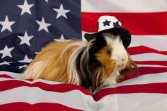 Patriotisches abyssinisches Meerschweinchen - Mann Lizenzfreie Stockbilder