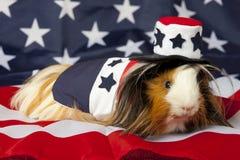 Patriotisches abyssinisches Meerschweinchen - Mann Stockfoto