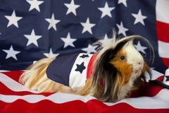 Patriotisches abyssinisches Meerschweinchen - Mann Stockbilder