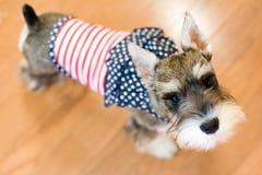 patriotisk hund Arkivbilder