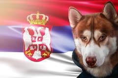 Patriotisk hund proudly framme av den Serbien flaggan Siberian skrovligt för stående i tröja i strålarna av den ljusa solen royaltyfri fotografi
