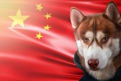 Patriottische hond trots voor de vlag van China Portret Siberische schor in sweatshirt in de stralen van heldere zon royalty-vrije stock fotografie