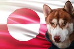 Patriottische hond trots voor de vlag van de staat van Groenland Portret Siberische schor in sweatshirt in de stralen van heldere royalty-vrije stock afbeeldingen