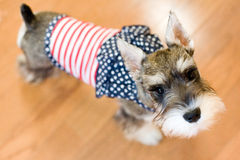 patriotyczny psa obrazy stock