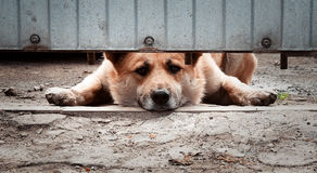 Patrol dog. Guard dog behind a fence on a leash Stock Image