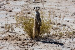 Patrolling female meerkat Stock Photo