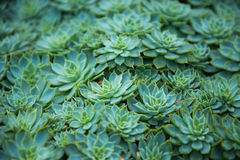 Patroon van bladerencactus Royalty-vrije Stock Afbeelding