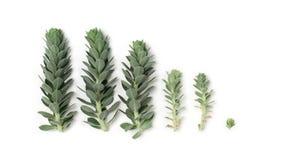 Patroon van blauwe succulente die installaties spurge op wit wordt geïsoleerd Stock Foto