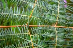 Patroon van de bladeren van de adelaarsvaren stock afbeeldingen