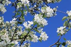 Patroon van een bloeiende appelboom tegen een blauwe hemel royalty-vrije stock afbeeldingen