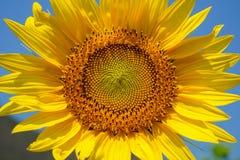Patroon van het het stuifmeeldetail van de close-up het mooie heldere gele verse zonnebloem hoofd tonende en zacht bloemblaadje m Stock Fotografie