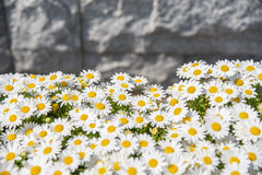 Patroon van margrietbloem in de tuin Stock Fotografie