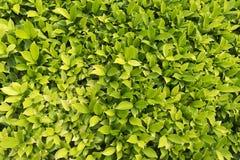 Patroon van mooie groene bladeren in het park Stock Afbeeldingen