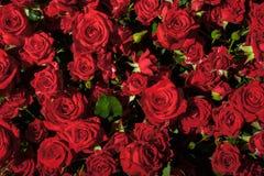 Patroon van rode rozen van grote en kleine grootte royalty-vrije stock fotografie