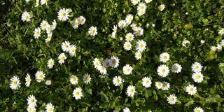 Patroonachtergrond van witte Daisys in groene vloer stock afbeelding
