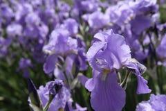 patroszony kwiatów ręki ilustraci irys Zdjęcie Stock