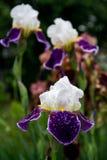 patroszony kwiatów ręki ilustraci irys Fotografia Stock