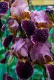 patroszony kwiatów ręki ilustraci irys Zdjęcia Stock