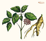 Patroszony ołówkowy ginseng, koloru wektoru ilustracja Zdjęcia Royalty Free