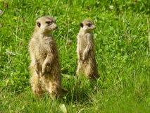 Patrouillierendes surikata zwei Stockfoto