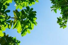 Patrzeć do liścia z niebieskiego nieba i słońca promienia światłem Zdjęcia Stock