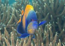 Patrzeć ja Zbliżenie blueface lub yellowface angelfish, Pomacanthus xanthometopon pływa nad koralami Bal Zdjęcie Stock