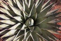 Patrzeć w dół w serce zielona agawa zdjęcie stock