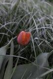 Patrzejący w dół ziemia, piękne trawy i czerwony tulipan, zdjęcie royalty free