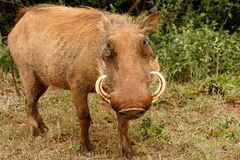 Patrzeję - Phacochoerus africanus pospolity warthog Fotografia Royalty Free