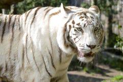 Patrzeje biały tygrys Fotografia Stock