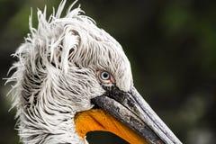 Patrzeje pelikana Zdjęcia Stock