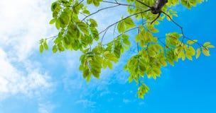 Patrzeje up widok, Zielony drzewo przeciw ładnemu niebu Obraz Royalty Free